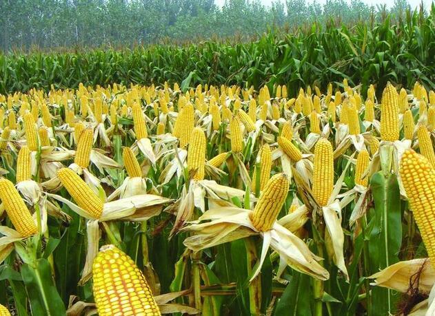 玉米药害种类、症状识别及预防与缓解(图)