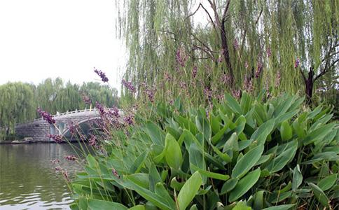 商丘引进再力花成园区风景线 - 浮水植物 - 重庆景春