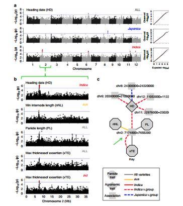 全基因组关联分析和穗部性状变异相关的位点