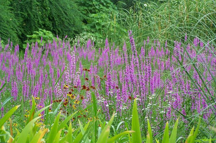 薇、大花紫薇是木本,可作为园林景观树,萼距花可作为花坛、花圃景