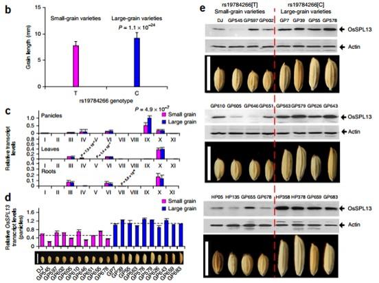 产品简介 全基因组关联分析(Genome-Wide Association Study,GWAS)在动植物的研究中对于重要性状特别是复杂形状的定位有着快速、高效、准确的优点。基于高通量测序对某种农作物或禽畜的代表性品种、地方种或野生种进行基因分型,结合准确的表型数据可对农作物或禽畜重要复杂性性状进行定位。特别是在包含了野生种、驯化种和改良种的群体中,结合群体进化分析对收到驯化和改良的重要基因进行定位,是研究作物或禽畜微进化及驯化改良表型的重要思路。 应用领域 全基因组范围内多性状的定位; 目标性状的