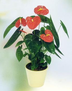 药理毒性:红掌的花会有轻微的毒性,不误食就不会有事,每次修剪枝叶图片