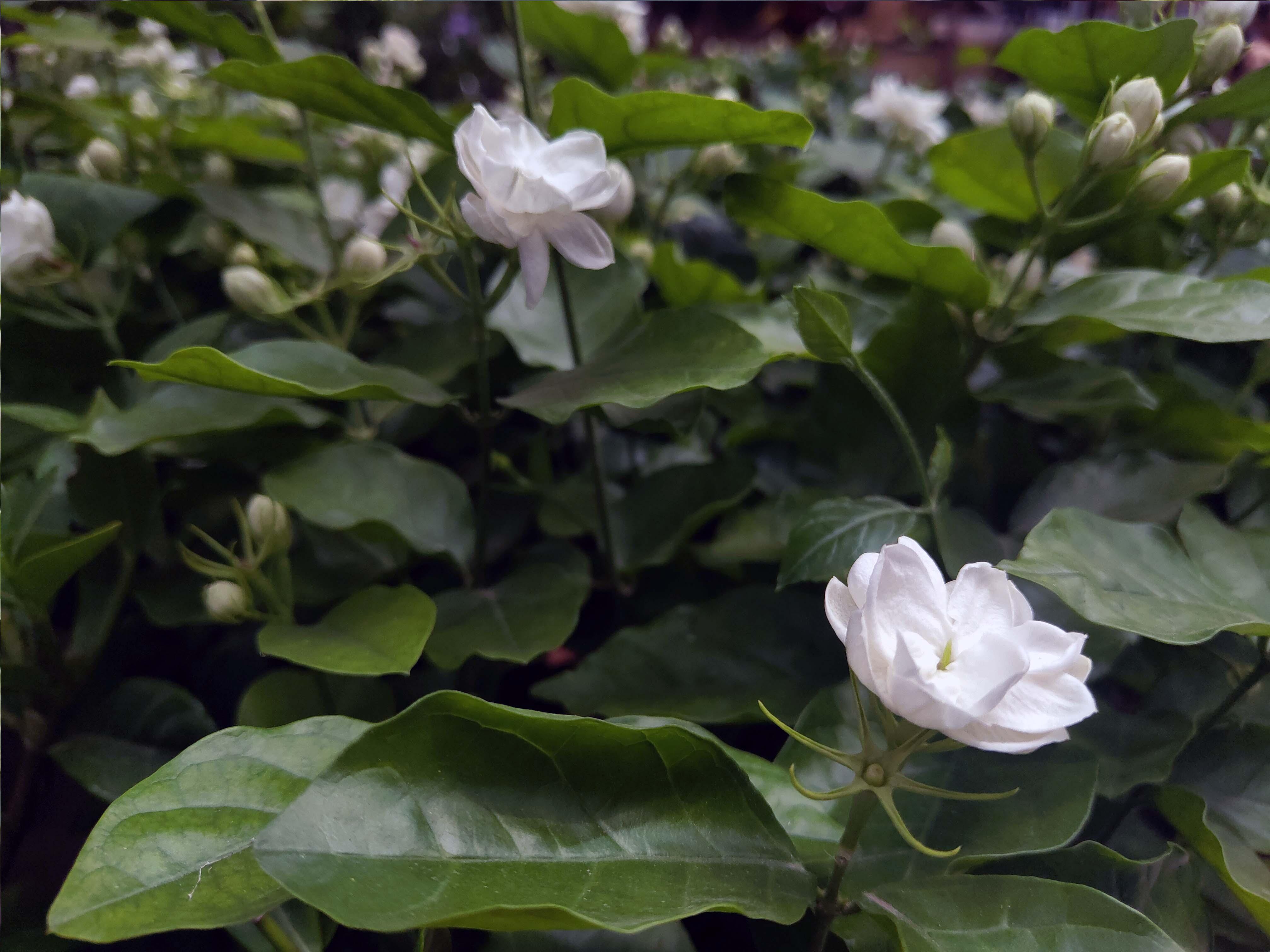 芬芳美丽满枝桠--香花之首茉莉