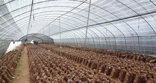 香菇大棚種植技術
