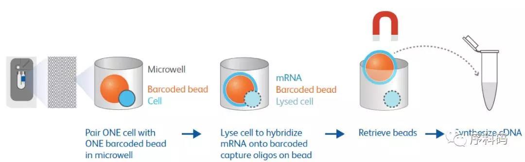 BD Rhapsody 多样品标记单细胞全转录组测序建库成功