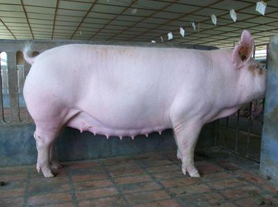 农村养猪补贴知晓率仅6.25%?补贴究竟惠及养猪人