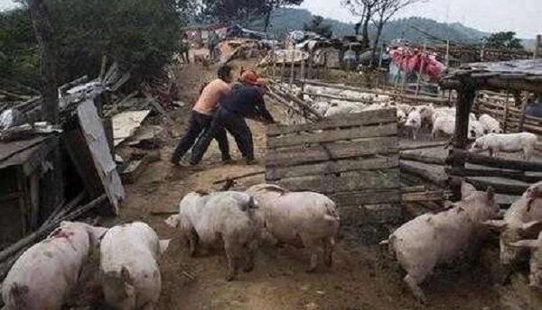 环保风暴依然猛烈!15万个养猪场被拆,2018年猪肉价格要涨?