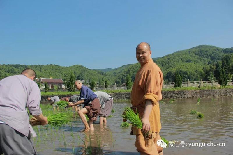 此一茎,本来面, 一年一度为谁现 ——真如禅寺大众出普坡插秧