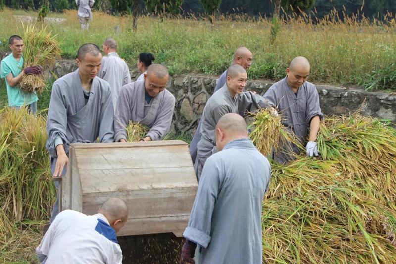 云居山真如禅寺全体僧众出普坡收割水稻