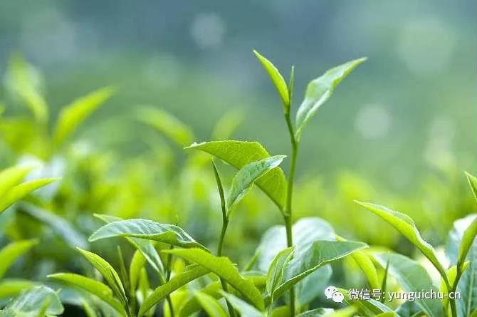 一毫端上通消息 遍界明明不覆藏——天上云居真如禅寺大众普坡采茶