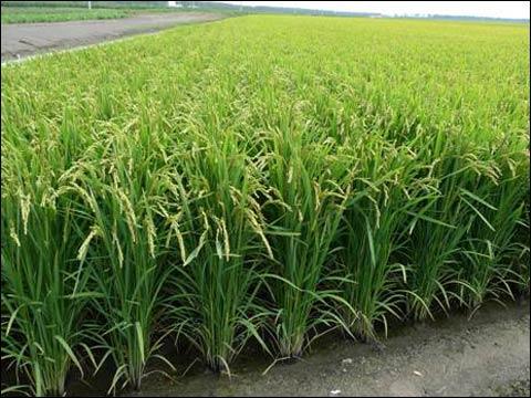 高温地区应叶面喷施磷钾肥减轻危害