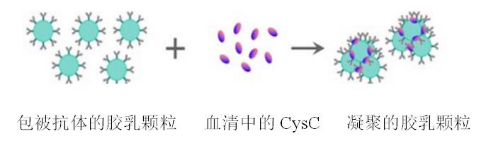 胱抑素C(CysC)测定试剂盒(胶体金免疫比色法)