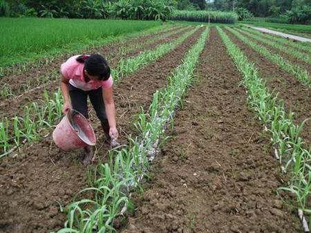 黑皮甘蔗种植施肥方案
