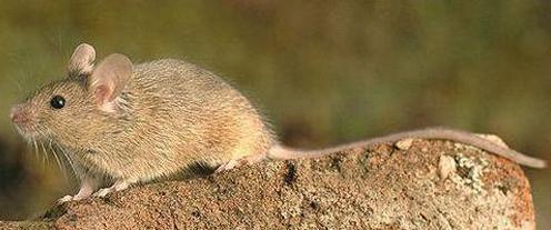 黄胸鼠简要鉴别特征