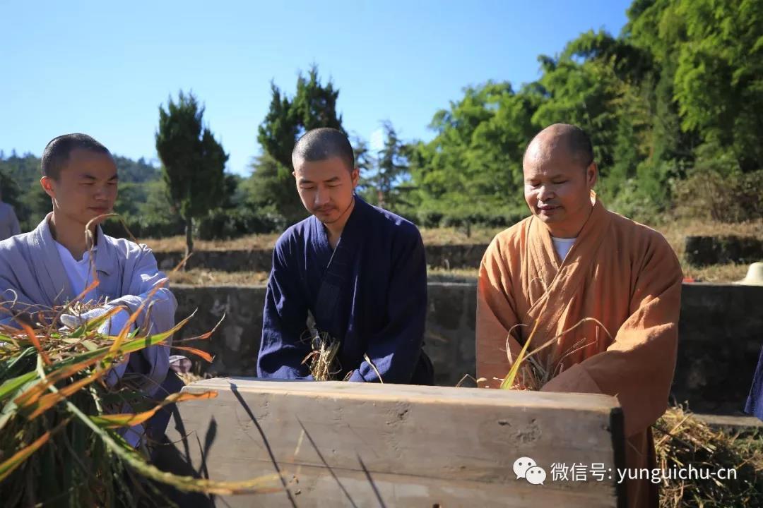 一日不作 一日不食——天上云居真如禅寺僧众出普坡收割水稻