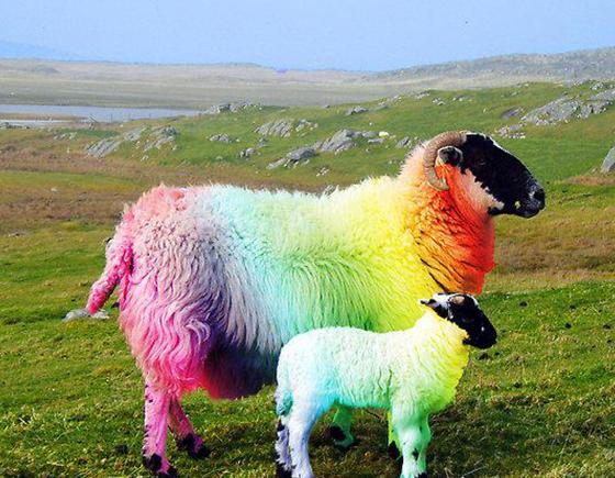 那些年,被英国人染得五颜六色的羊群…