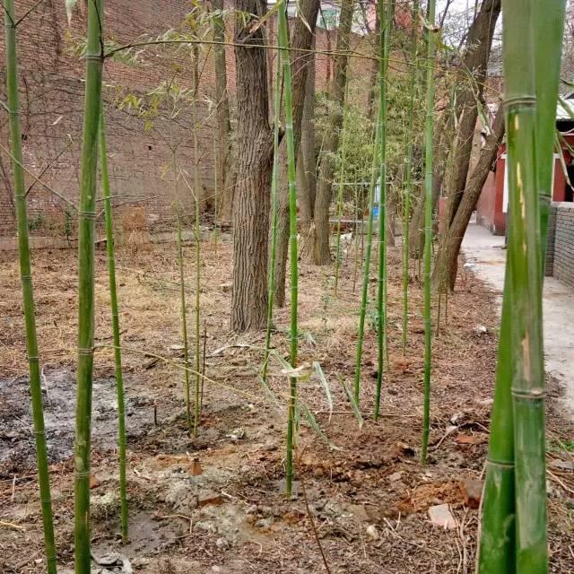 一片竹林、一句承诺、一个梦想!