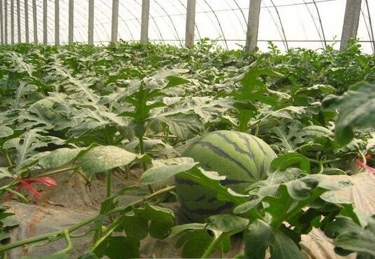 种西瓜一般怎么施肥?用什么有机肥好?