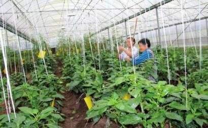 大棚蔬菜底肥施用方法