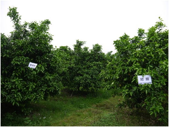 爱诺森®让柑橘弱树焕新颜