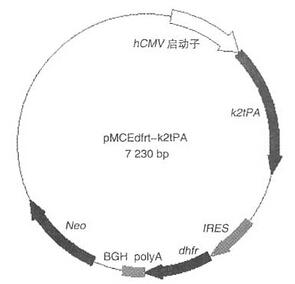 哺乳动物细胞表达载体构建.jpg