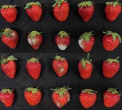 综合转录-代谢组学分析揭示了收获草莓果实在短期内暴露于高浓度二氧化碳后的细胞反应