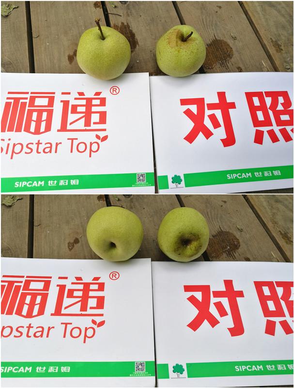 最美酥梨  福递®砀山——世科姆药肥一体化最美酥梨观摩会