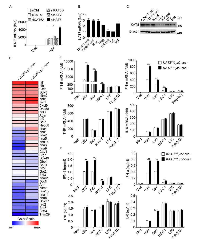 热烈恭祝,曹雪涛团队发现蛋白质乙酰化在抗病毒先天免疫中的关键作用