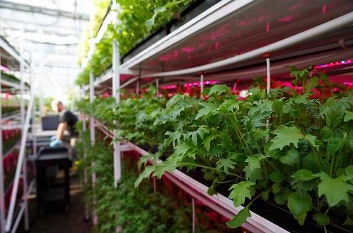 Current为加拿大温室引进LED照明系统,增加幼苗产量