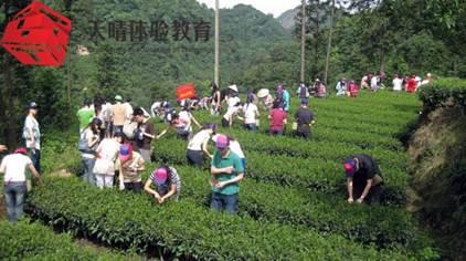 趣味活动项目:采茶