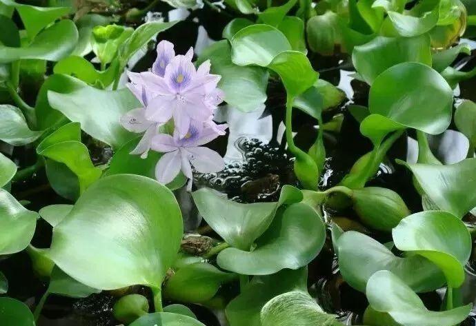 干货 详解人工湿地常见水生植物特性、功能及其分类!