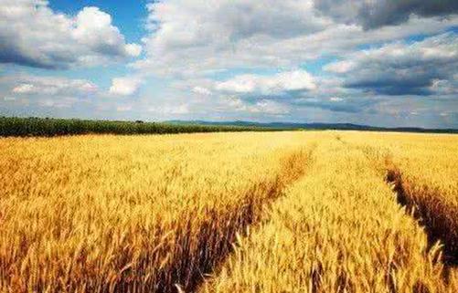 今年全国粮食产量预计超1.2万亿斤