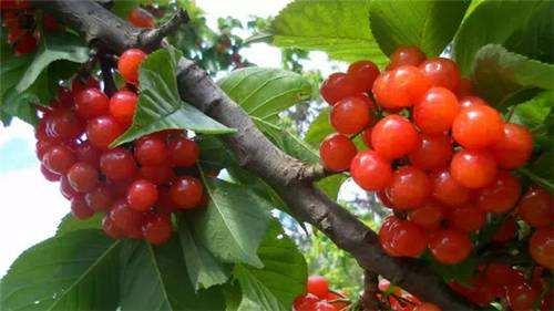 又到了樱桃采摘的季节