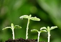 保护幼芽嫩叶