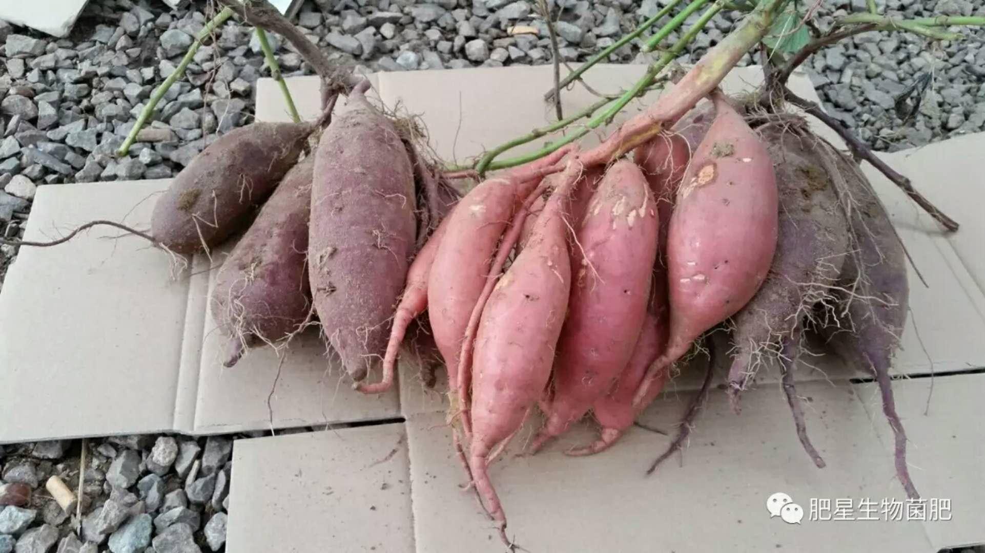 谁家的红薯咋这么好吃?