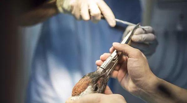南京动物园丹顶鹤断上嘴唇,3D打印钛合金为其修复~