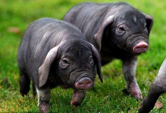 梅山猪重测序揭示基因组变异及受选择区域