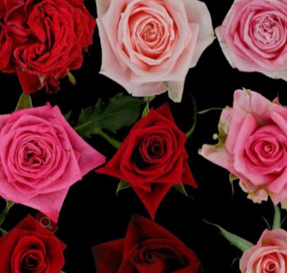 四倍体玫瑰形态特征的QTL分析
