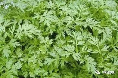 坤石绿植小课堂 | 办公室驱蚊绿植盆栽来了解下吧!