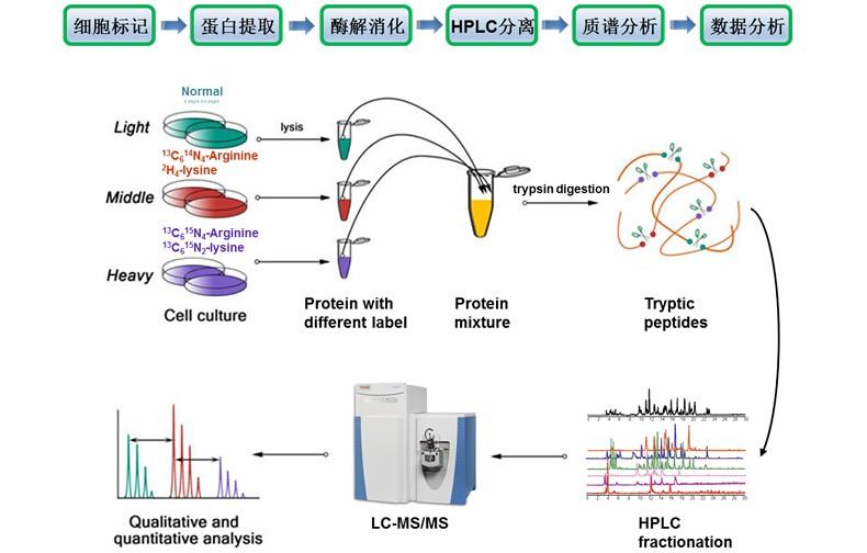 SILAC定量蛋白質組學分析