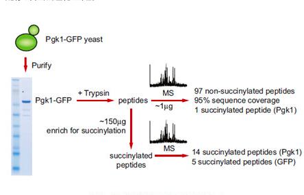 蛋白質修飾位點鑒定