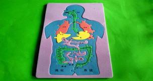 拼装人体消化系统模型