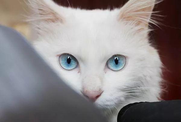 蓝眼睛的白猫真的全都是聋子吗?