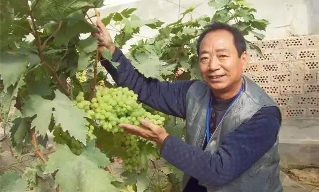 【农业技术】靠这一招,葡萄亩产6000斤,当年栽培、当年结果、当年丰产!