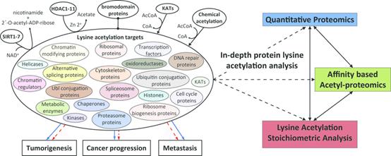 定量乙酰化蛋白质组分析