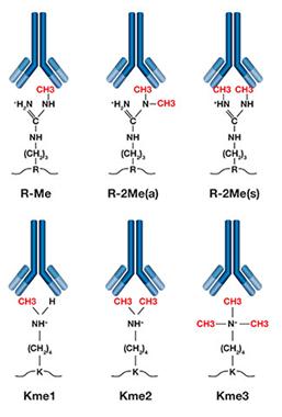 定量甲基化蛋白质组学