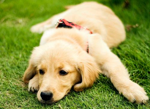 金毛犬的毛发颜色发红是正常的吗?