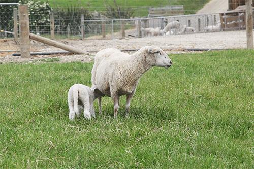 为宝宝甄选口粮——羊奶粉好还是牛奶粉好?