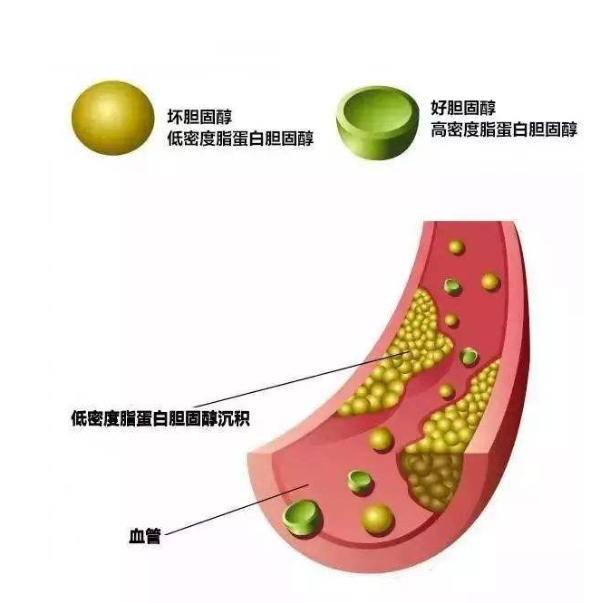 壳体育betway客户端有调节人体胆固醇作用