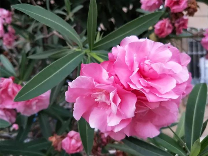 这种花有毒,别乱碰、别乱吃,家里有小孩更要注意!